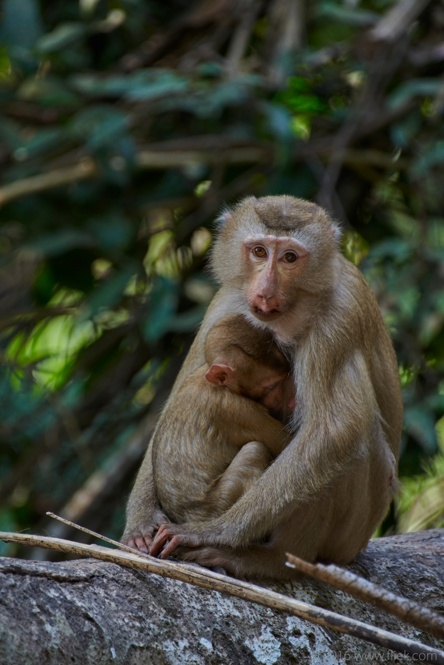 Khao Yai Macaque Nikon 200-500mm f5.6