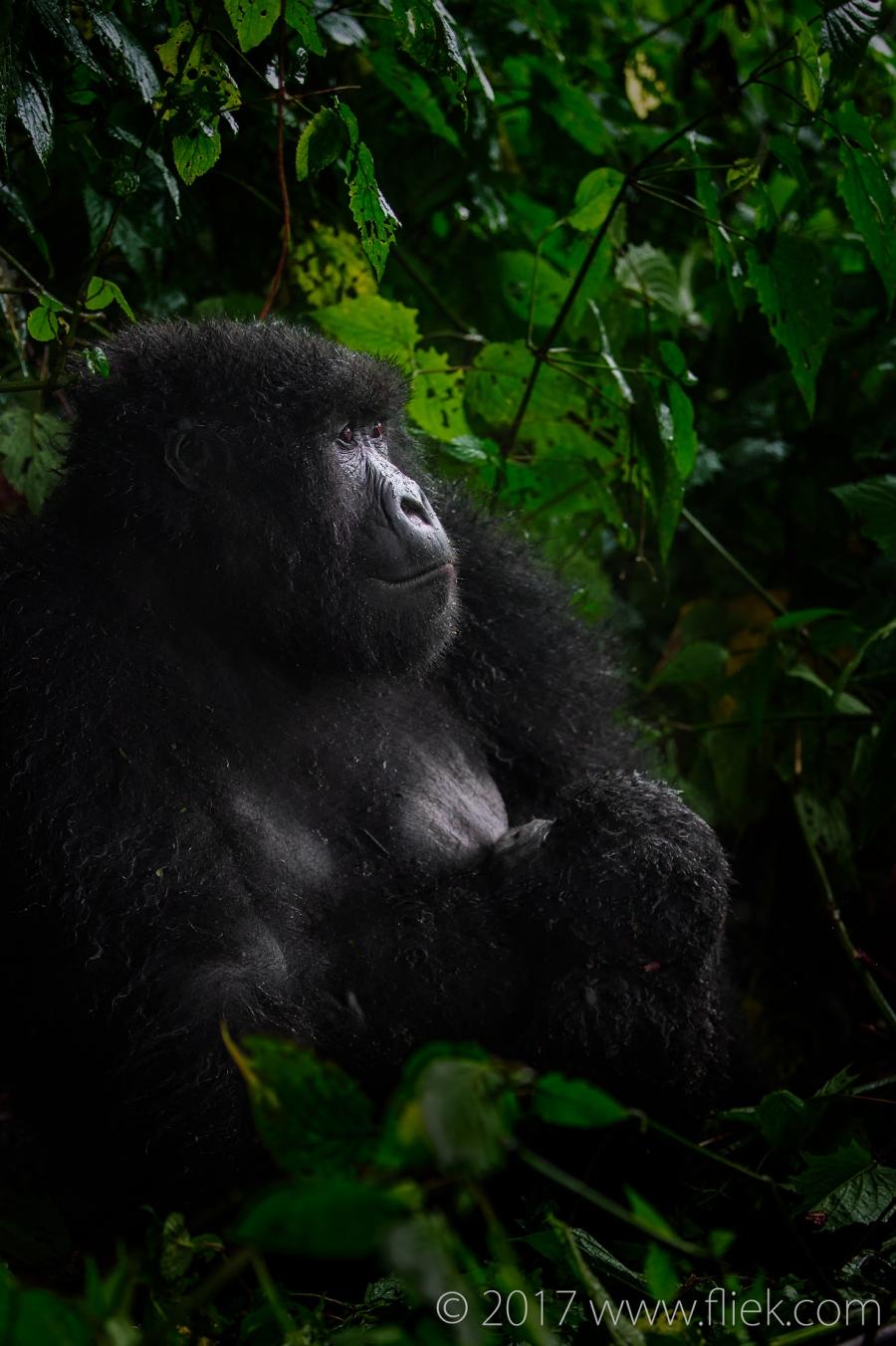 rwanda-mountain-gorilla-mom