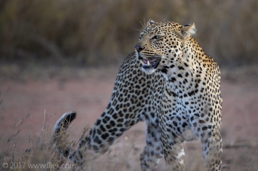 serengeti-leopard