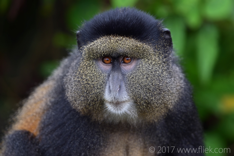 d4s-golden-monkey-portrait2-1