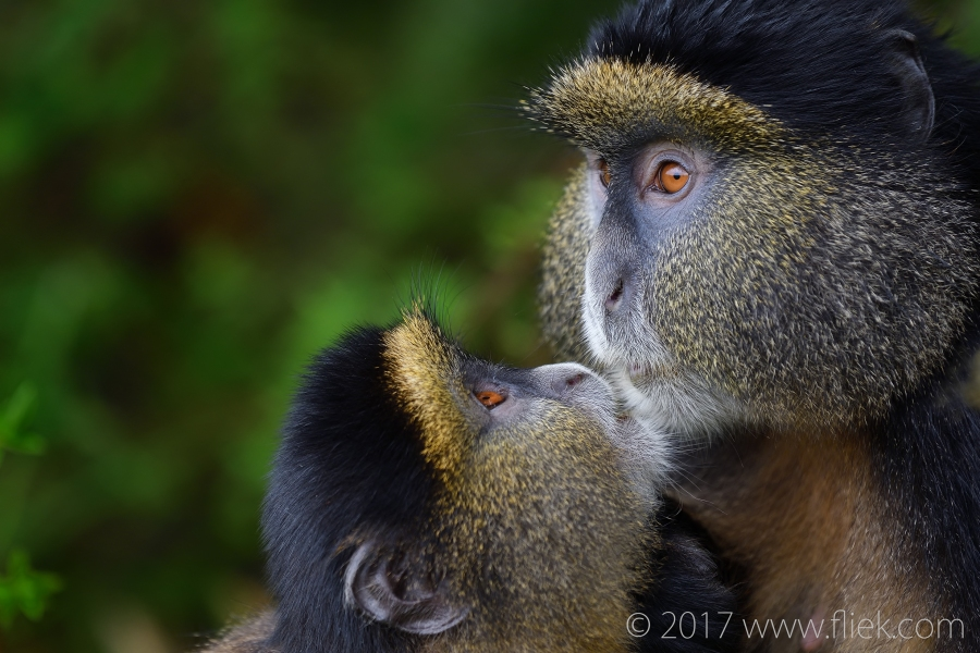 d500-golden-monkey-begging