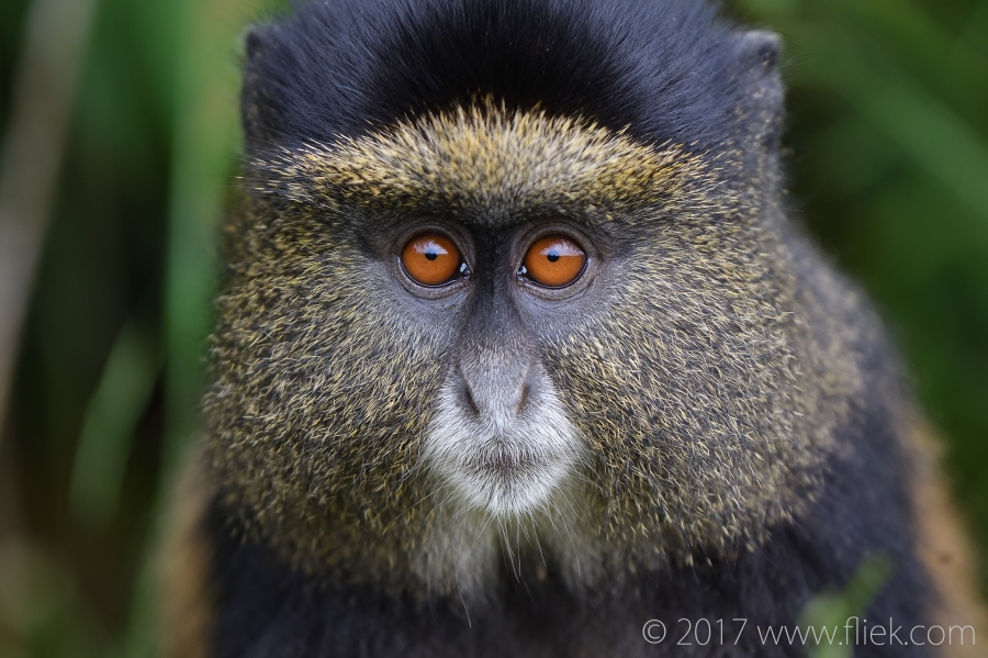 d500-golden-monkey-portrait1