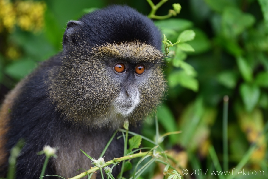 d500-golden-monkey-portrait2